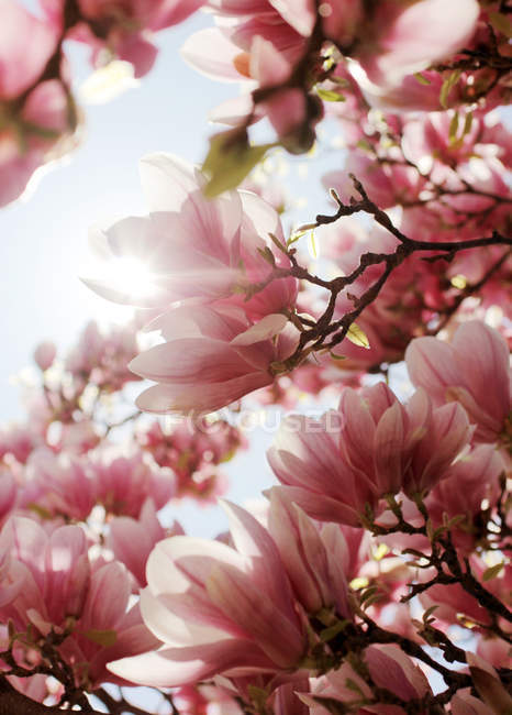 Blooming magnolia flowers on tree branches and sunshine — Stock Photo
