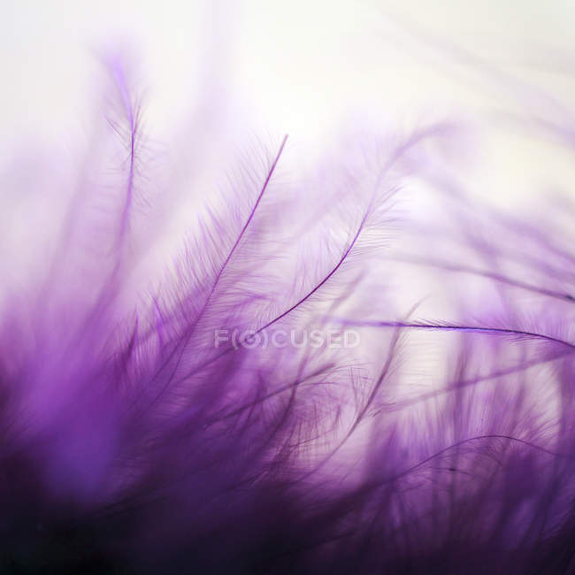 Fluffy purple violet feather background — Stock Photo