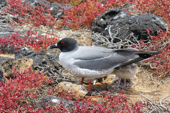 Swallow tailed gull bird with chick — стоковое фото
