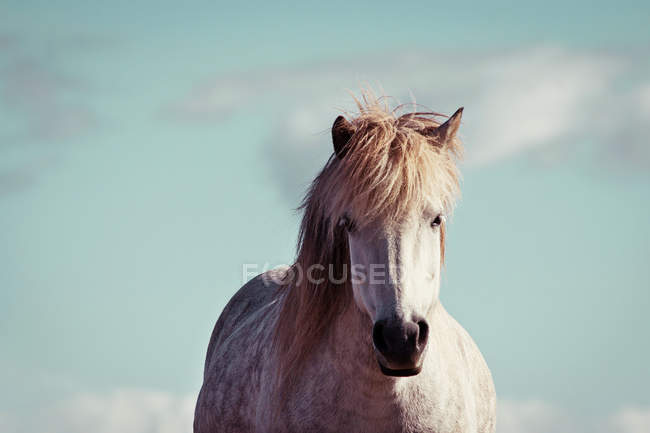 Retrato de cavalo cinza branco, animal, olhando para a câmera — Fotografia de Stock