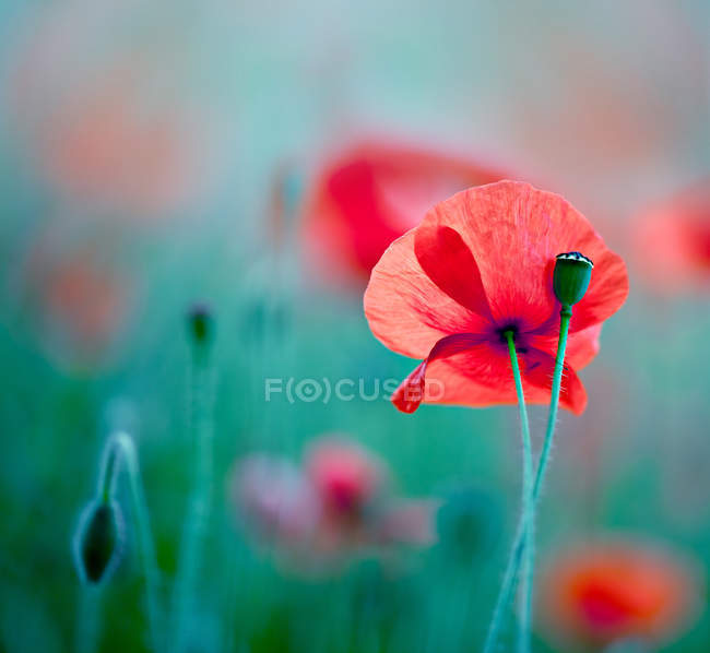 Red poppies flowers in green field, close up — Stock Photo