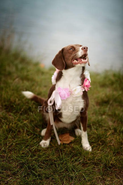 Brown mixed breed dog with flowers on neck — Stock Photo