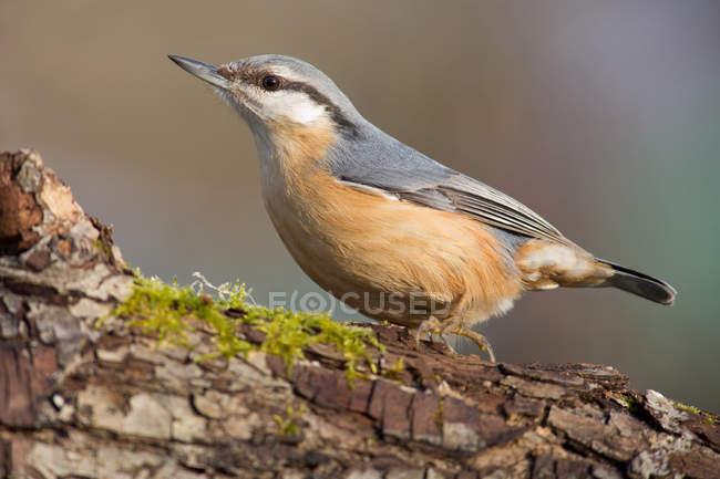 Повна довжина Повзик птах на кора дерева з Мосс — стокове фото