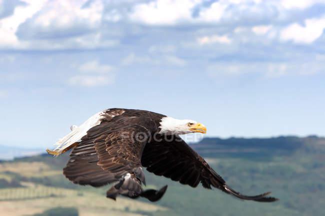 Vuelo águila calva, fotografía de aves - foto de stock
