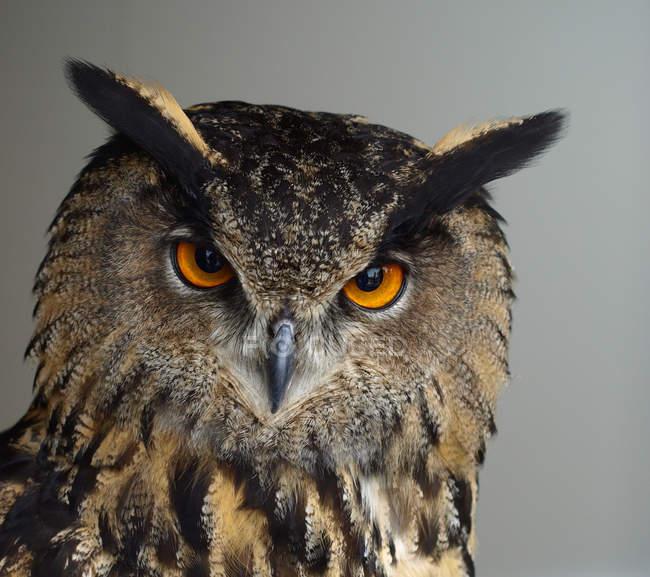 Gufo di Aquila, fotografia di uccelli testa di gufo — Foto stock