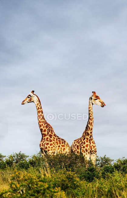 Dos jirafas de pie en los árboles - foto de stock