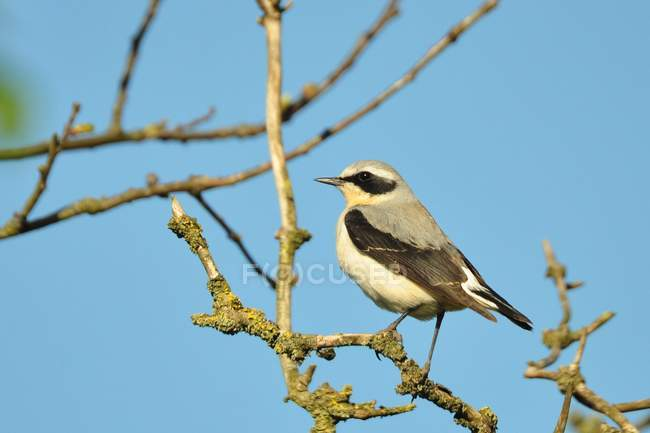 Каменка птица на ветке дерева против четкие голубое небо — стоковое фото