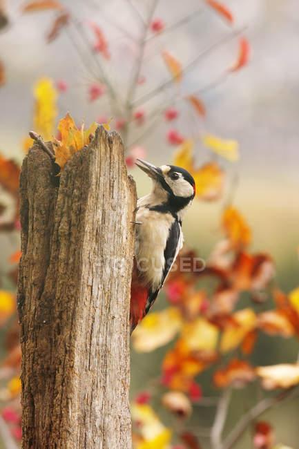 Птица дятел на кору дерева в осеннем лесу — стоковое фото