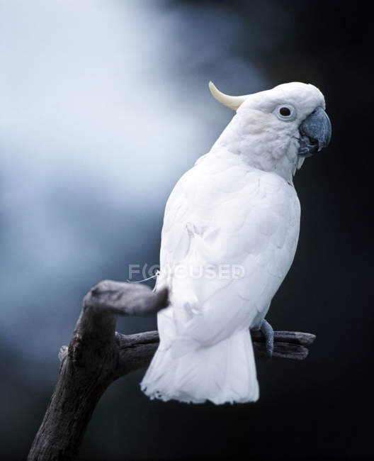 White greater sulphur-crested cockatoo on tree branch — Stock Photo