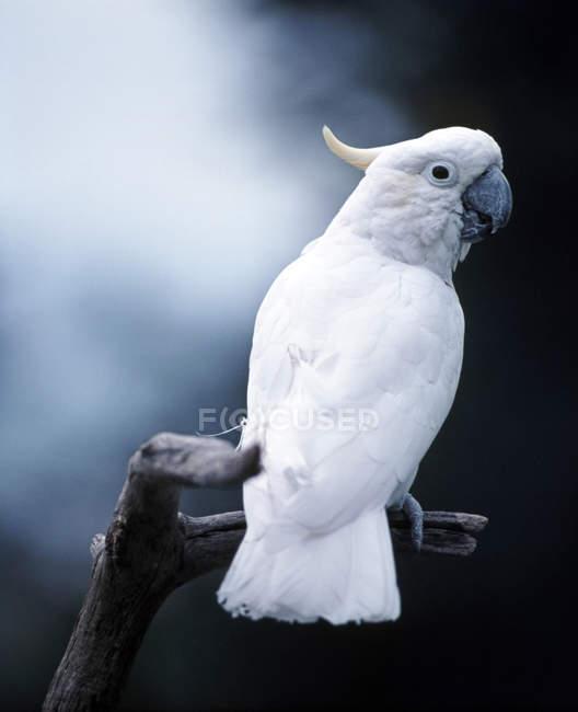 Белый более большой желтохохлый какаду на ветке дерева — стоковое фото