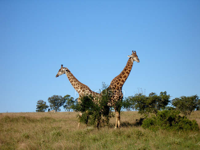 South Africa Savannah landscape and two standing giraffes in field — Stock Photo