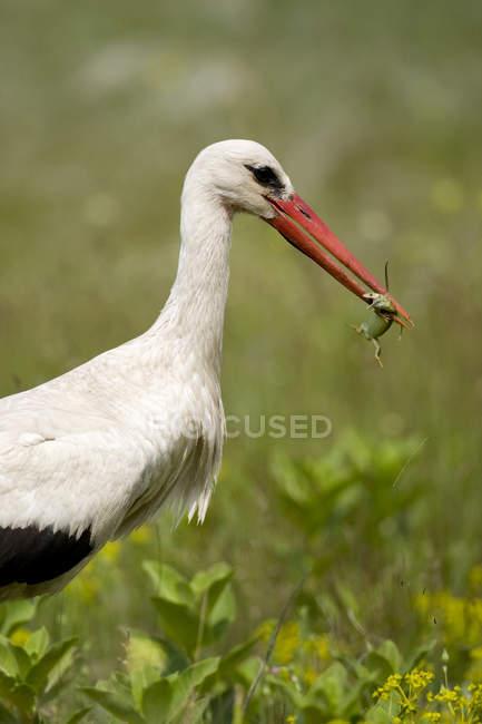 Аист птица с добычей лягушка в клюве — стоковое фото
