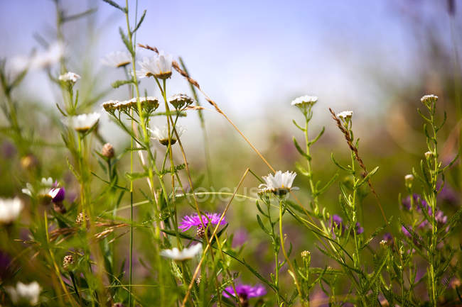 Summer meadow with green grass and field flowers — Stock Photo