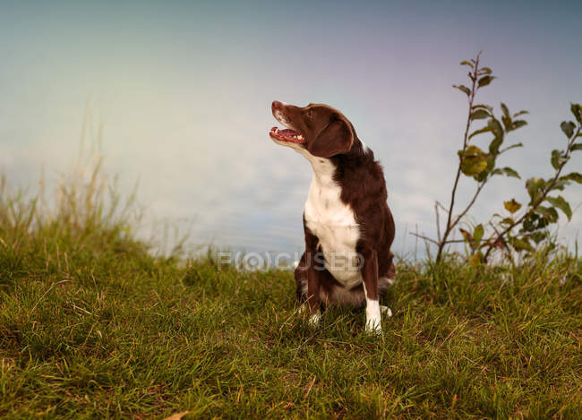 Cão de raça mista marrom no prado verde olhando para longe — Fotografia de Stock