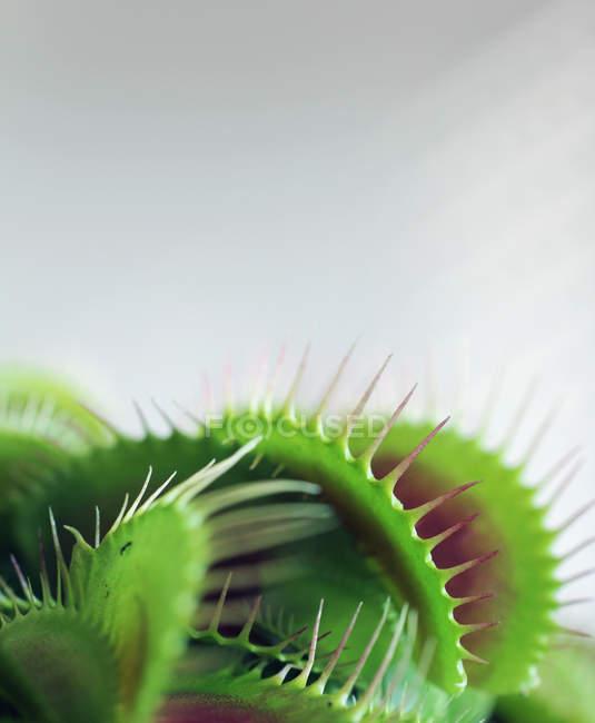 Plantes carnivores, dionée attrape-mouche — Photo de stock