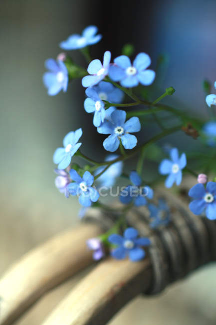 Forget-me-not, Myosotis spring flower, Scorpion grasses flowers — Stock Photo