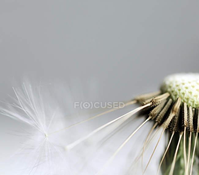 Blowball кульбаби завод макрос постріл — стокове фото