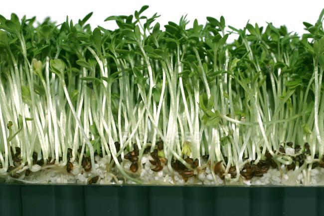 Crescendo verdes brotos frescos no pote — Fotografia de Stock