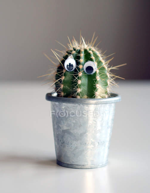 Growing house cactus plants in pot — Stock Photo