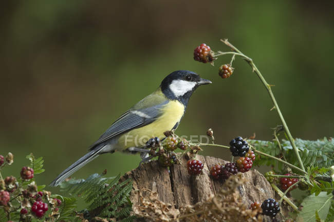 Great tit bird in forest with wild berries plant — Foto stock
