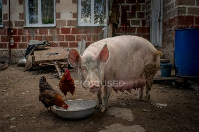 Village barn yard with pig and farm birds — Stock Photo