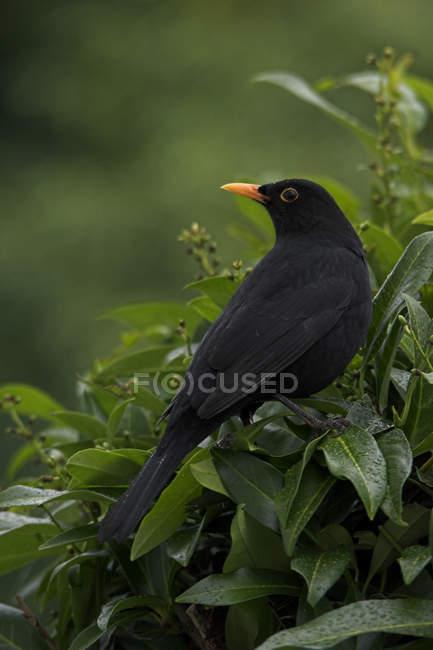 Blackbird turdus merula in green leaves bush — Stock Photo
