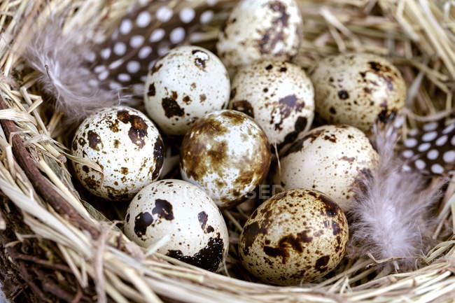 Marrom manchado codorna ovos no ninho — Fotografia de Stock