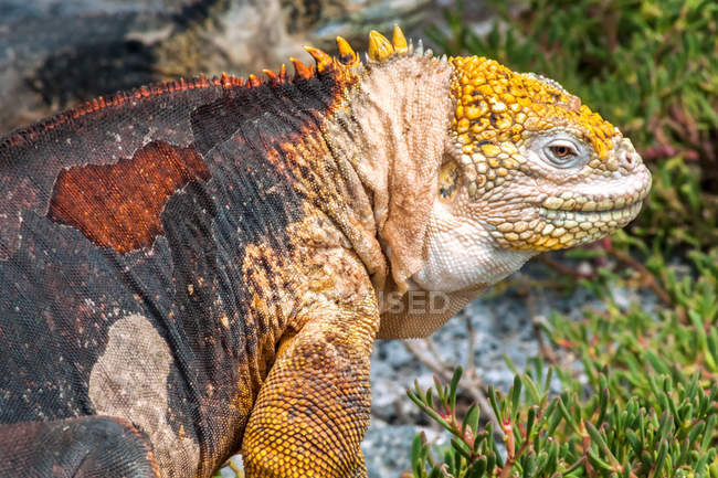 Closeup of galapagos iguana lizard on green grass — Stock Photo