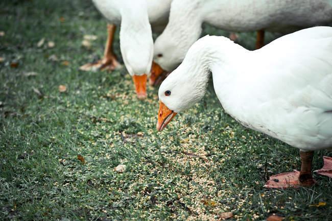 Белые гуси едят зеленая трава — стоковое фото