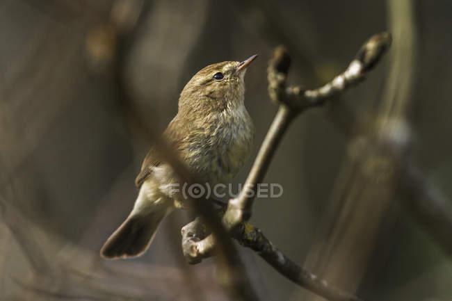 Common chiffchaff bird on tree branch — Stock Photo