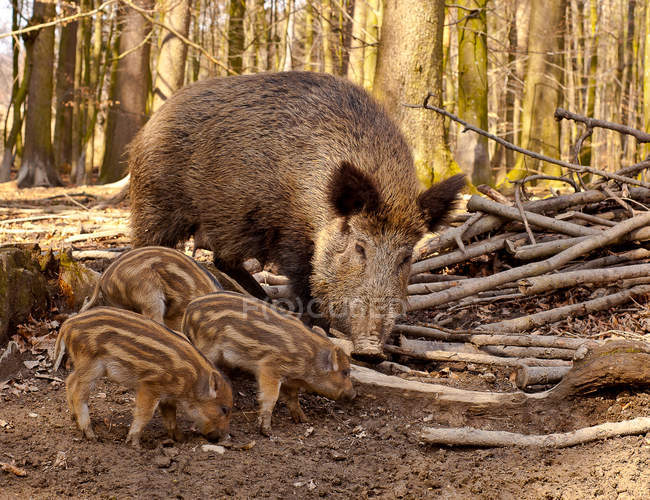 Wild piglets animal family in forest with trees and branches on ground — Stock Photo
