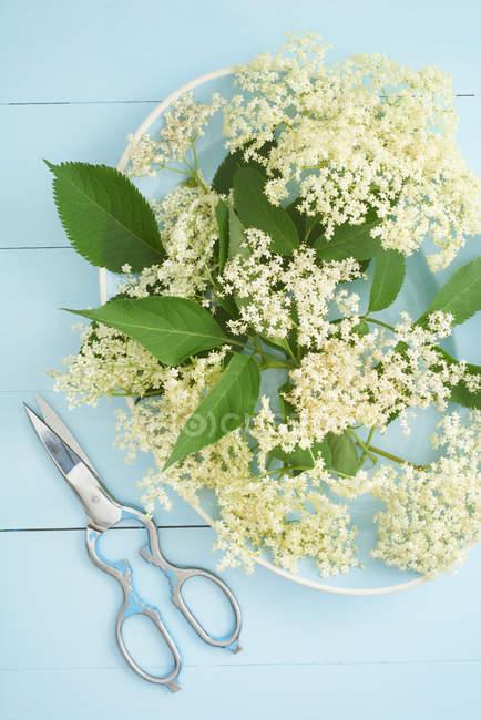 Weißen Holunderblüten auf blaue Platte — Stockfoto