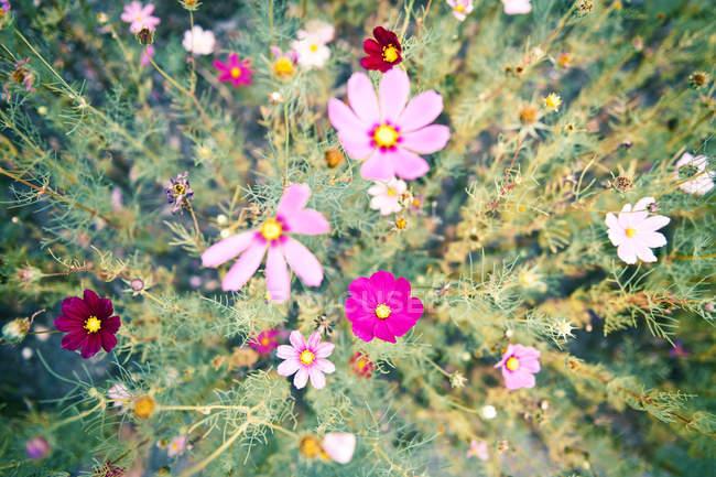 Вид зверху на барвисті літні квіти в галузі — стокове фото