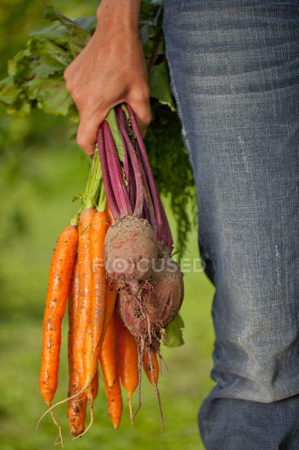 Cropped image of male hand holding carrots and beetroots — Stock Photo