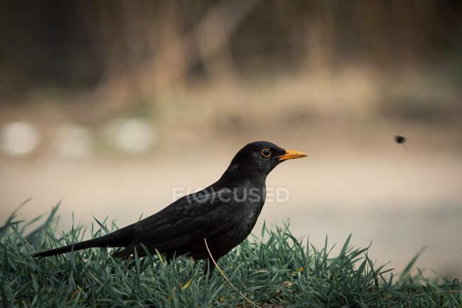 Blackbird turdus merula outdoors in green grass — Stock Photo