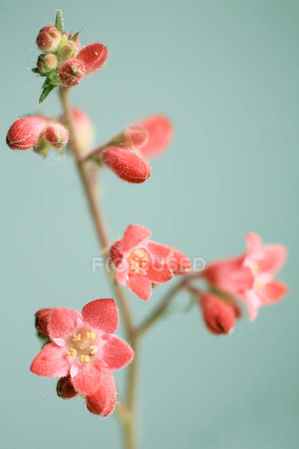 Flowering heuchera, Plant stem with blooming red flowers — Stock Photo