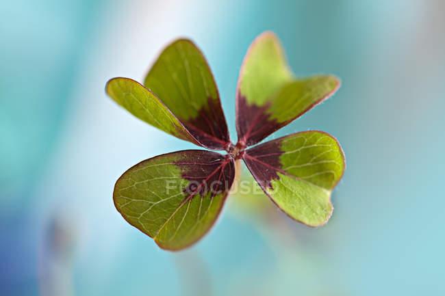 Зелений чотирьох листя конюшини — стокове фото