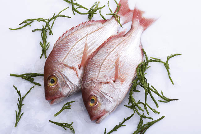 Two raw fishes on ice with green herbal leaves — Stock Photo