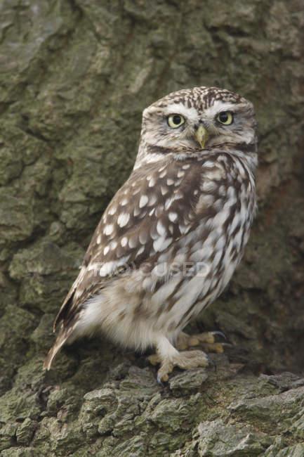 Коричневый маленькая сова, глядя на камеру сидя на кору дерева — стоковое фото