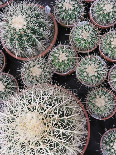 Wachsende Zimmerpflanzen Kakteen in verschiedenen Töpfen, Ansicht von oben — Stockfoto