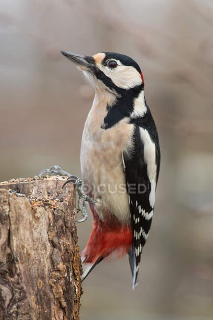 Pássaro pica-pau ao ar livre, fotografia de aves — Fotografia de Stock
