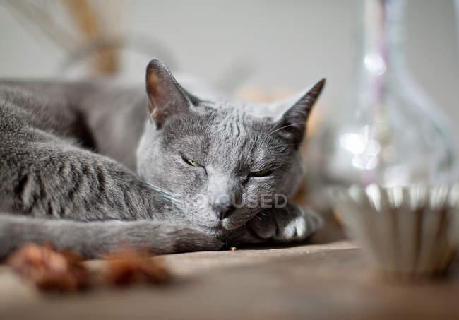 Gato doméstico cinzento cochilando — Fotografia de Stock