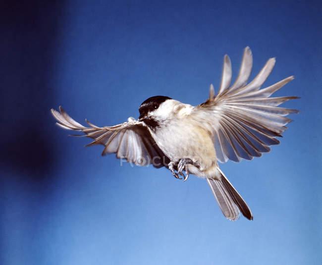 Полет птиц, крылья птицы Маорийская петроика, большая синица — стоковое фото