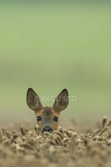 Deer peering from wheat field outdoors — Stock Photo
