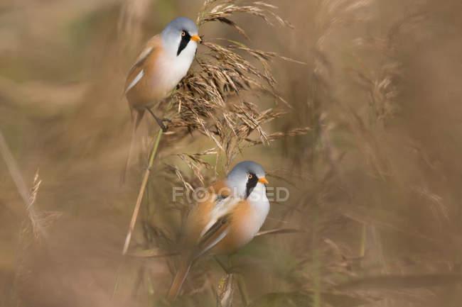 Бородатый синица в желтой травы — стоковое фото