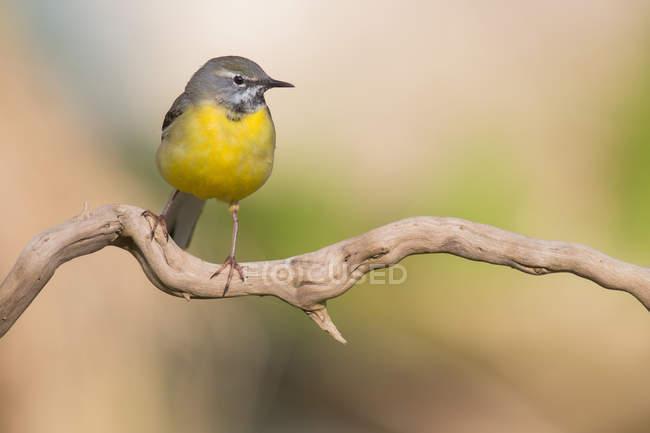 Малые трясогузка птица сидит на ветке дерева — стоковое фото