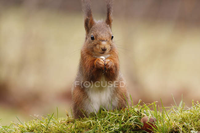 Red squirrel standing on green grass moss — Stock Photo
