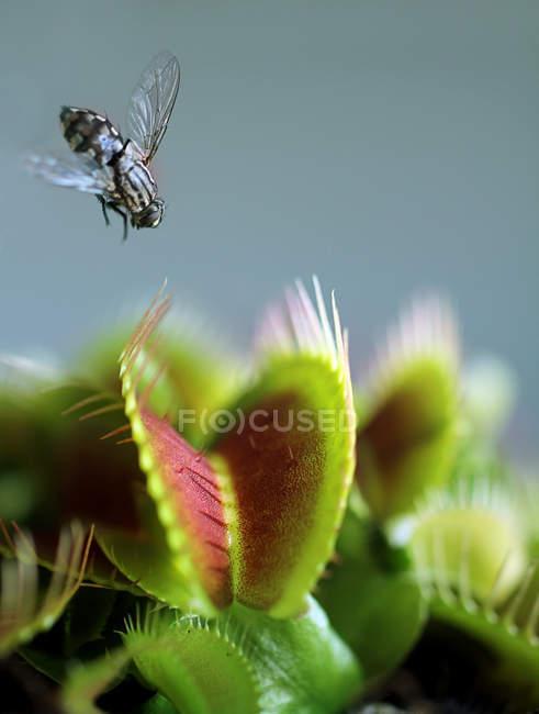 Plantes carnivores, dionée attrape-mouche et insecte mouche — Photo de stock