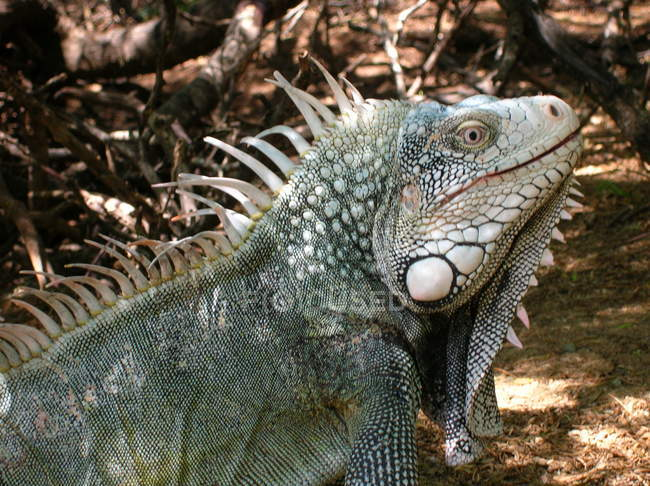 Cropped view of iguana lizard with spine comb, side view — Stock Photo