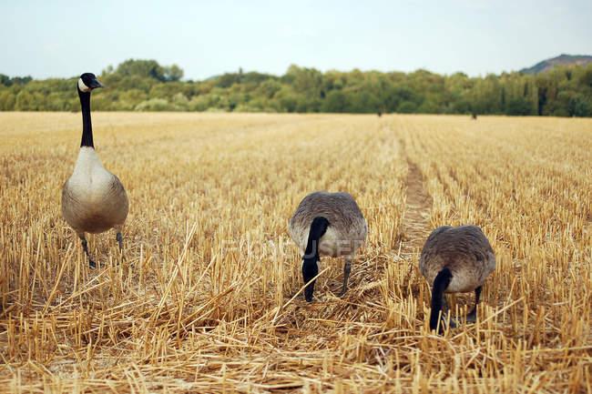 Канада гуси в осень желтой траве в поле фермы — стоковое фото